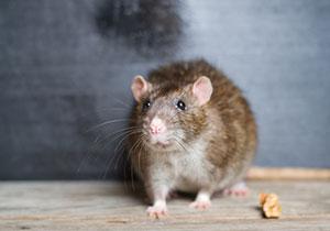 Comment se débarasser<br />des rats ?