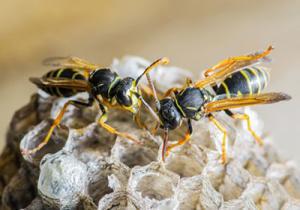 Comment détruire un nid de guêpes ?
