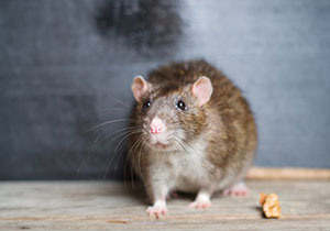 Comment se débarasser des rats ?