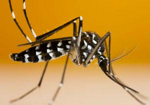 Comment reconnaître un moustique tigre ?
