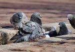 Les pigeons sont-ils nuisibles ?
